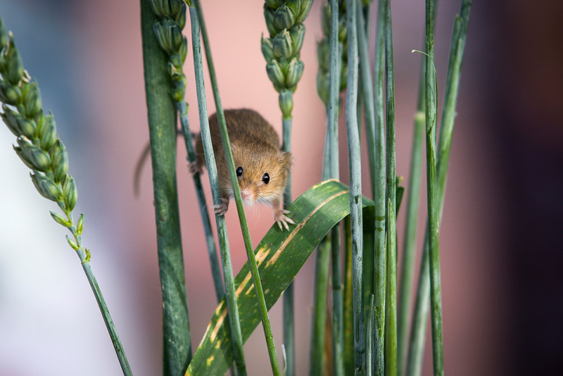 Harvest Mouse Peers Through Grass Stalks