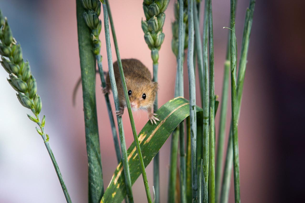 Harvest Mouse Peers Through Grass Stalks