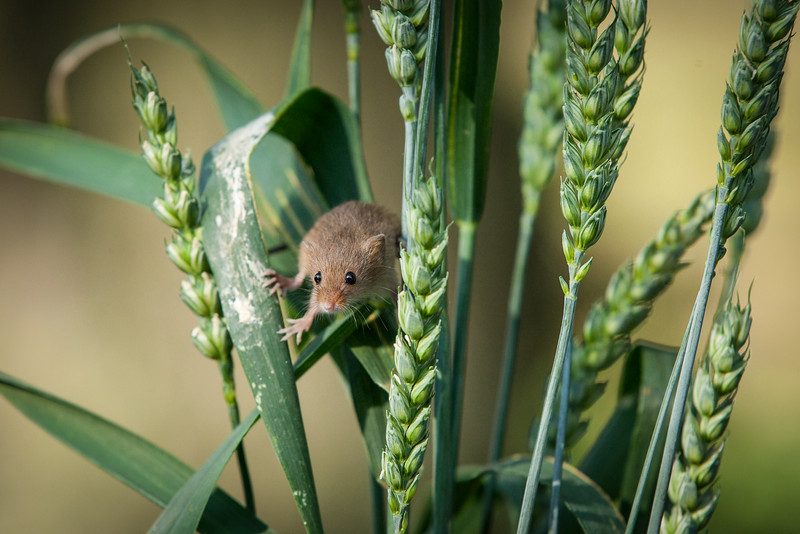Harvest Mouse in the Gras