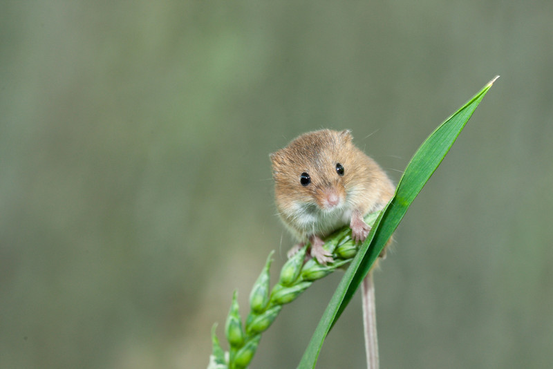 Harvest Mouse on Grass Stalk