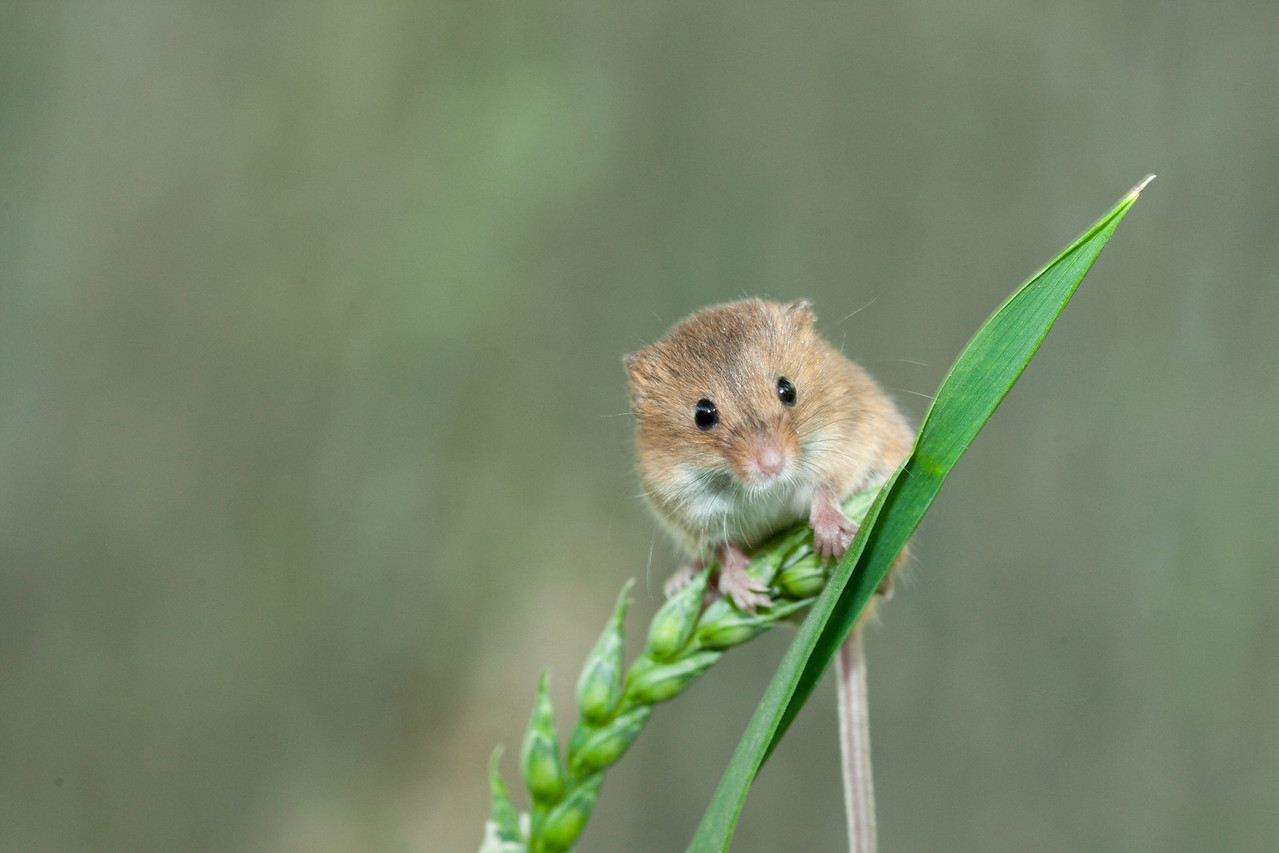 Harvest Mouse on Grass Stalk