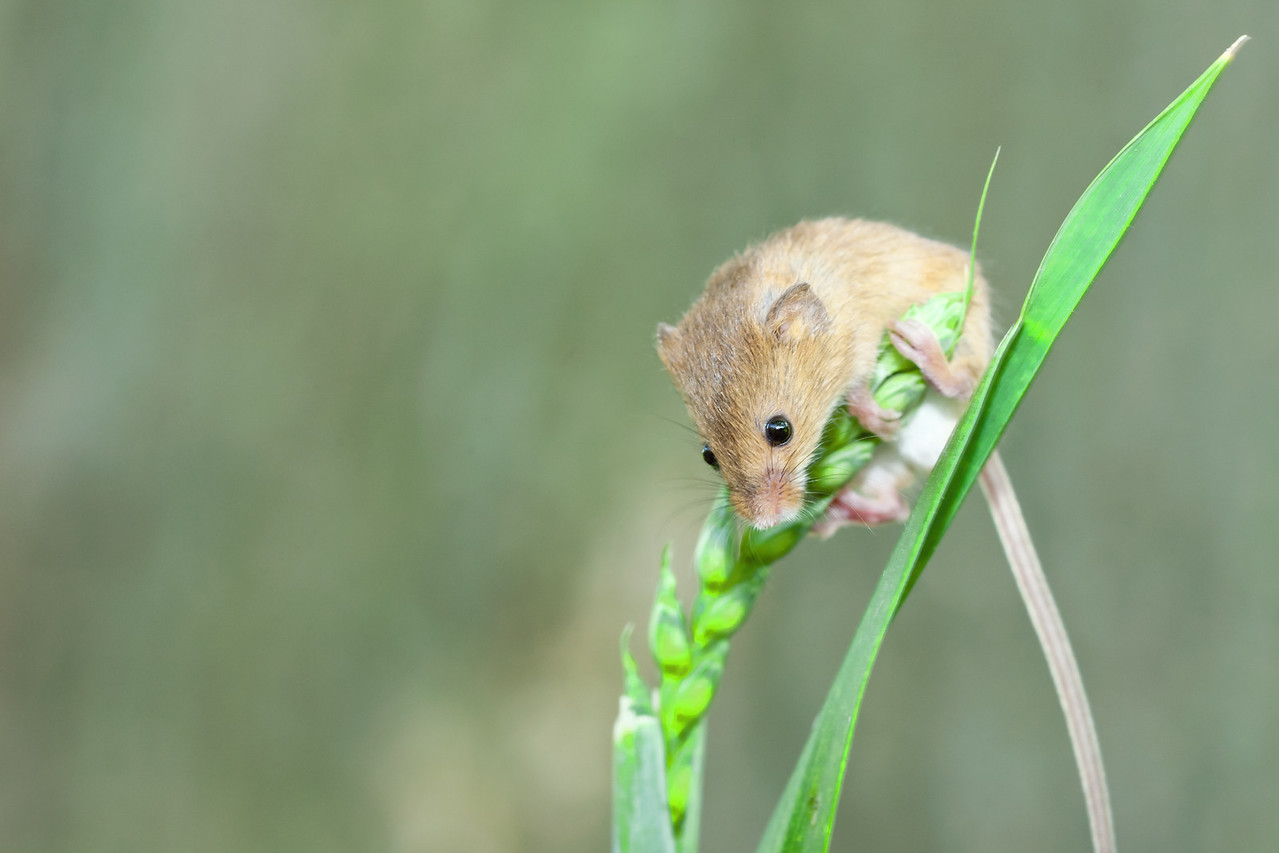 Harvest mouse on a grass stalk