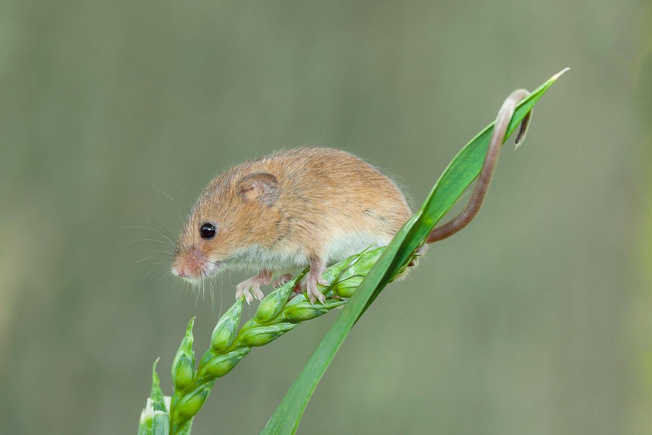 Harvest Mouse On a Grass Stalk