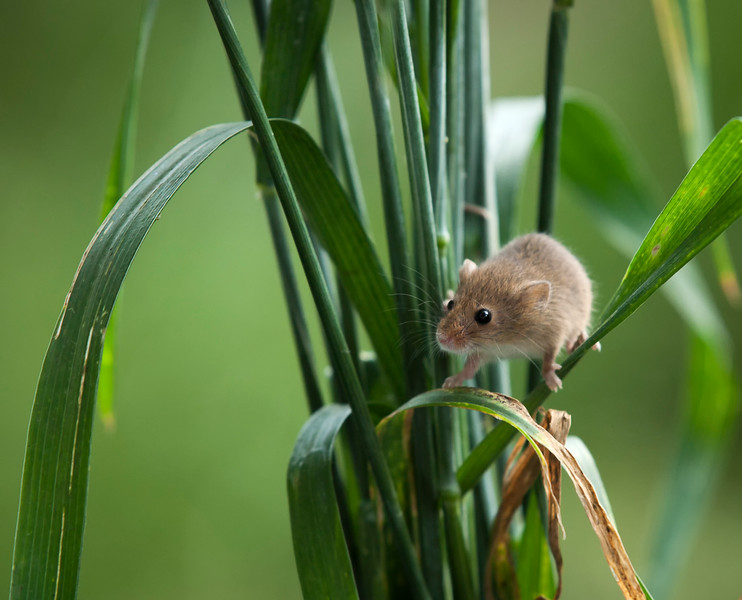Harvest mouse in the grass
