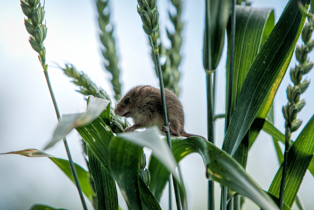 Harvest mouse climbs among the grass