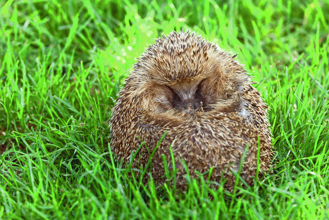 Hedgehog curled in a ball in the grass