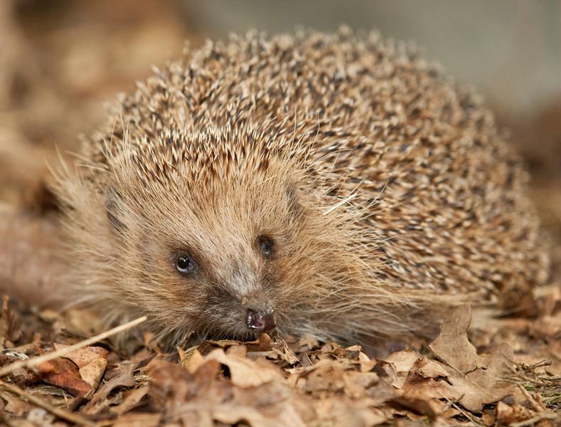 Portrait of a hedgehog