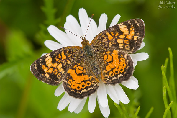 Pearl Crescent Butterfly on a Daisy