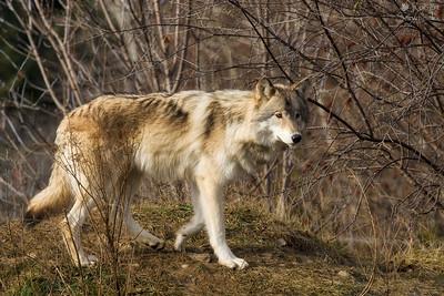 Gray Wolf (Captive)