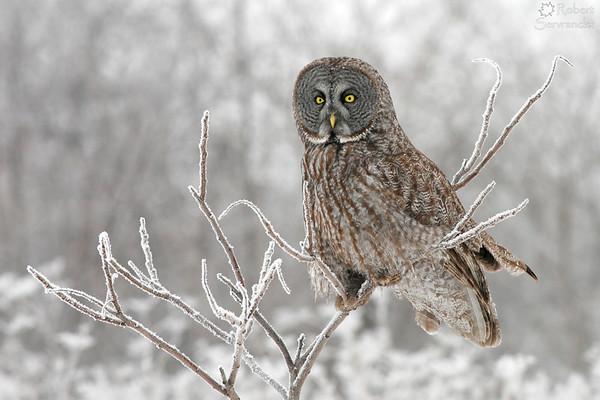 Frosty Great Gray Owl