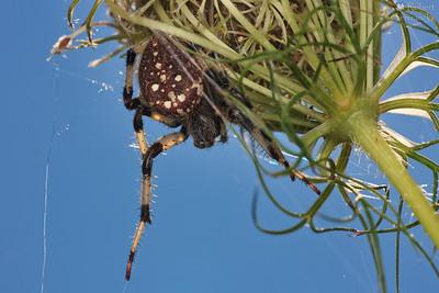 Shamrock Orbweaver Spider