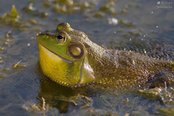American Bullfrog Calling