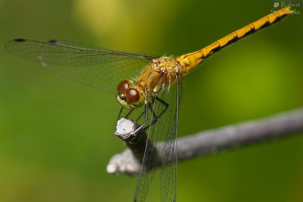 Ruby Meadowhawk Dragonfly