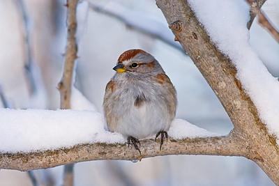 American Tree Sparrow (Canada Bunting)
