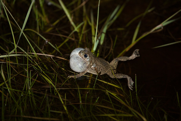 Plains Spadefoot Toad (Spea bombifrons)