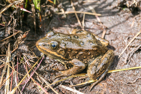 Columbian Spotted Frog (Rana luteiventris)