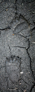 Grizzly Bear (Ursus arctos) track