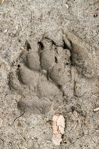 Coyote (Canis latrans) track
