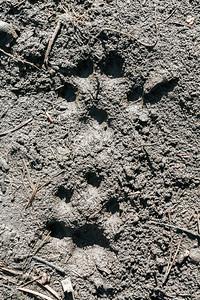 Canada Lynx (Lynx canadensis) tracks