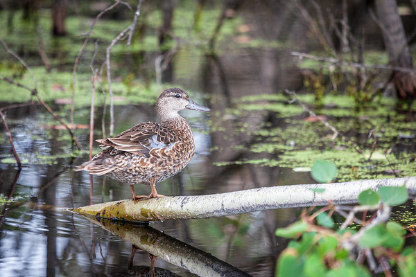 Female Blue-winged Teal (Spatula discors)