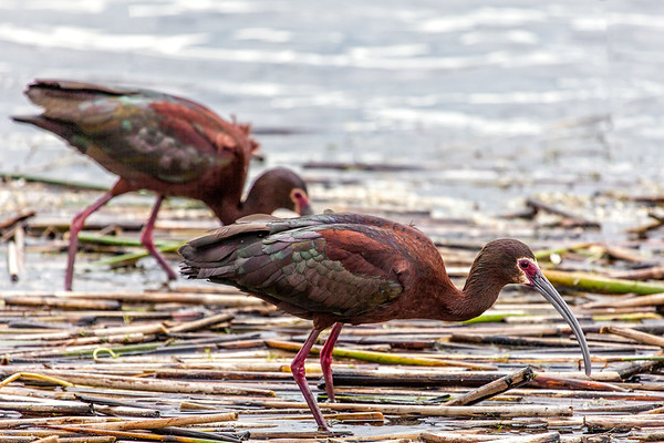 White-faced Ibis (Plegadis chihi)