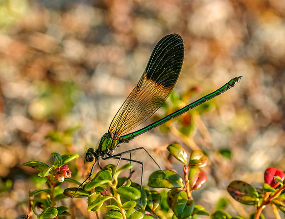River Jewelwing (Calopteryx aequabilis) - male