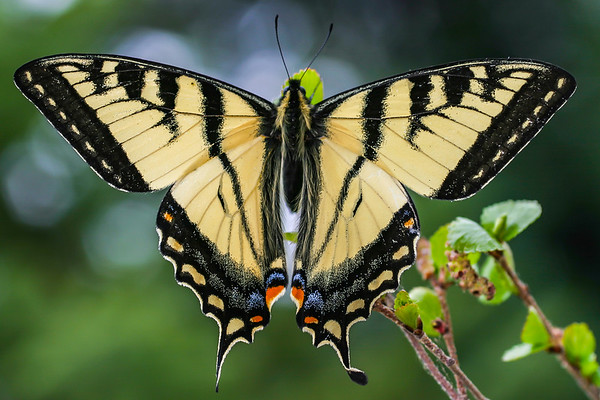 Canadian Tiger Swallowtail (Papilio canadensis)