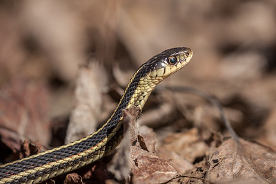 Red-sided Garter Snake (Thamnophis sirtalis)