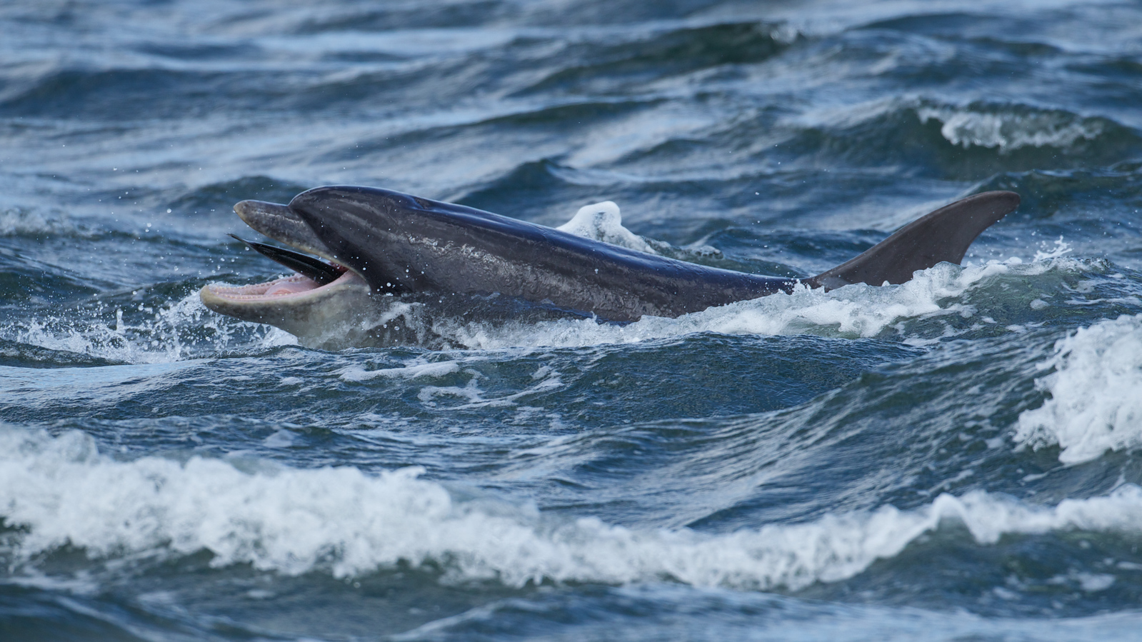 Dolphin toying with prey