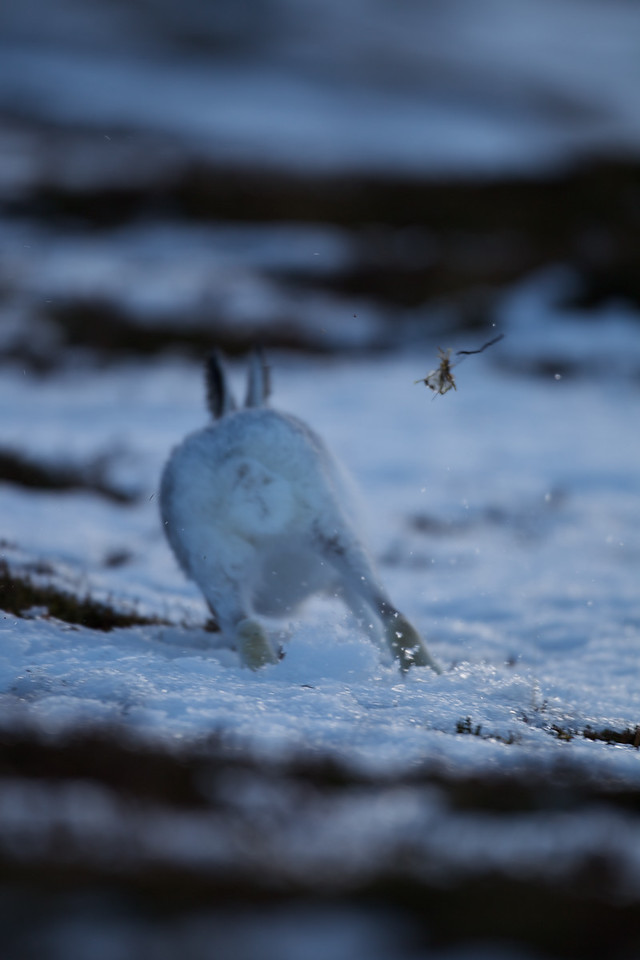 Exit mountain Hare !