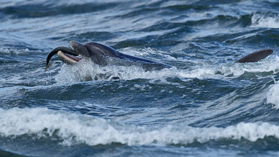 Dolphin playing with salmon