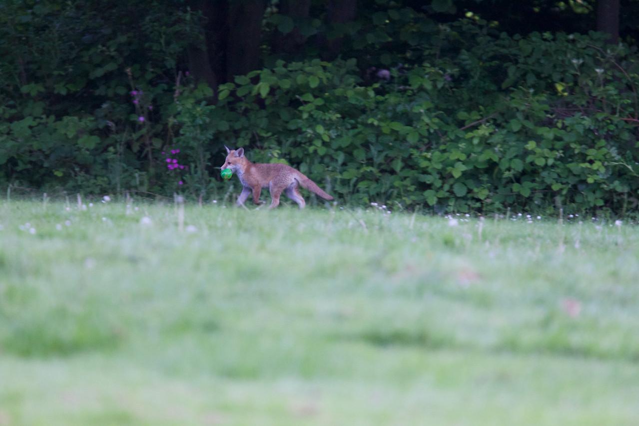 Unban fox cub with tennis ball