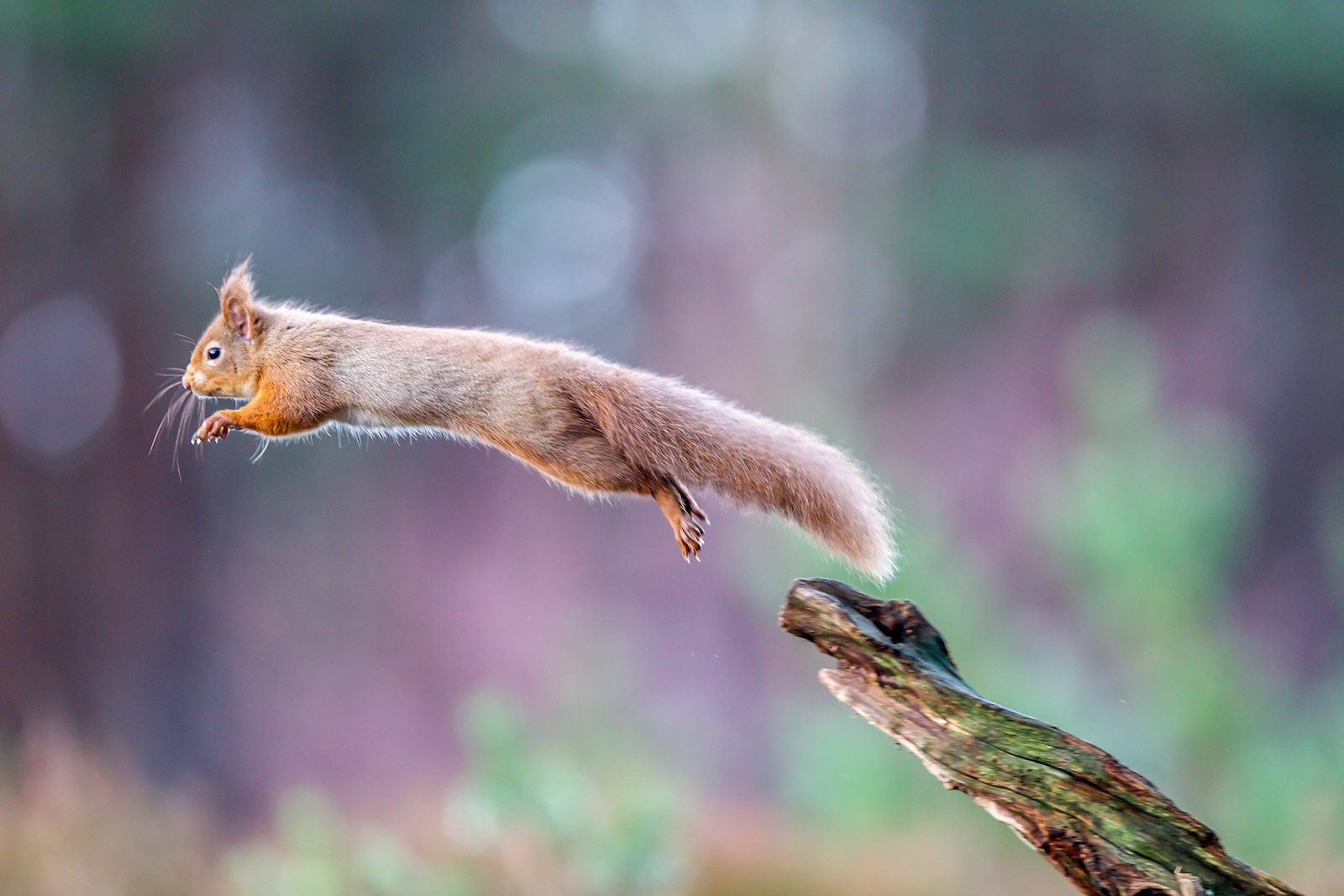 Flying red Squirrel