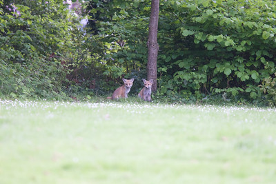 Urban fox cubs