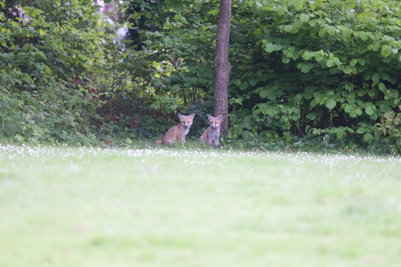 Urban fox cubs
