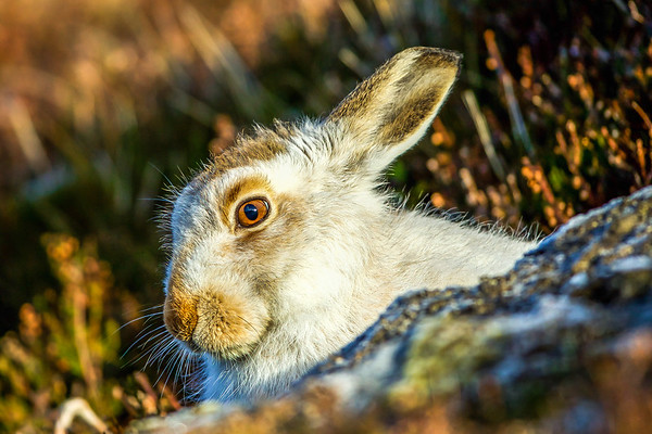 Golden eye-Mountain Hare