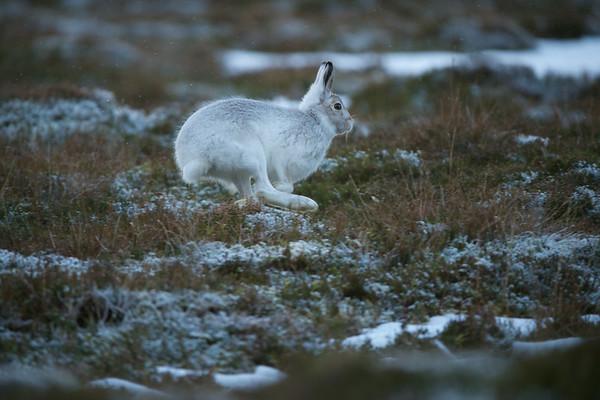 Mountain Hare running