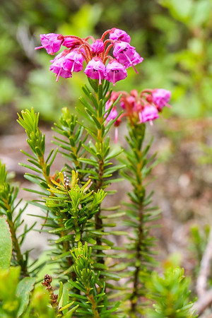 Pink Mountain-heath (Phyllodoce empetriformis)
