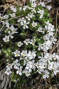 Moss Phlox (Phlox hoodii)