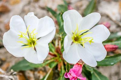 Tufted Evening-primrose (Oenothera caespitosa)