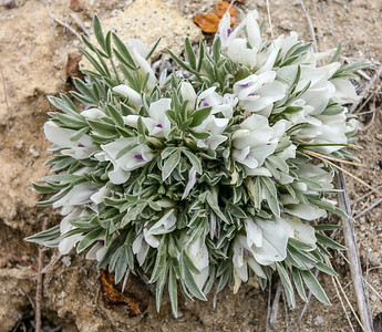 Cushion Milkvetch (Astragalus aretioides)
