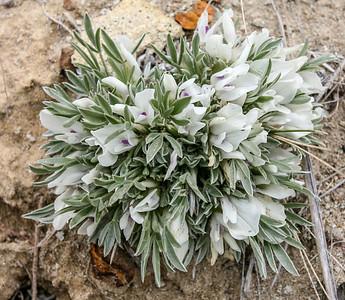Cushion Milkvetch (Astragalus aretioides)