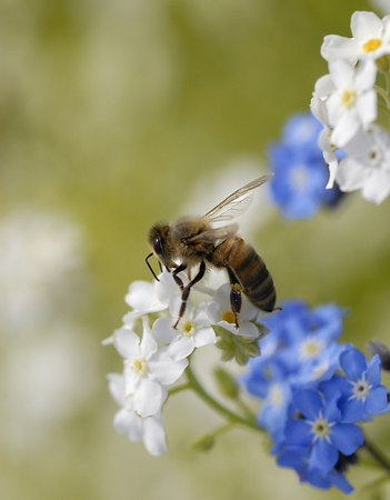 Honey Bee Macro 2