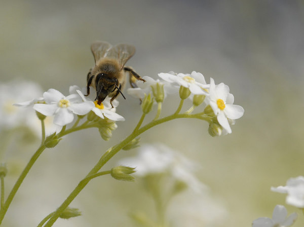 Honey Bee Macro 2