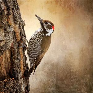 Arizona Woodpecker Digital Art