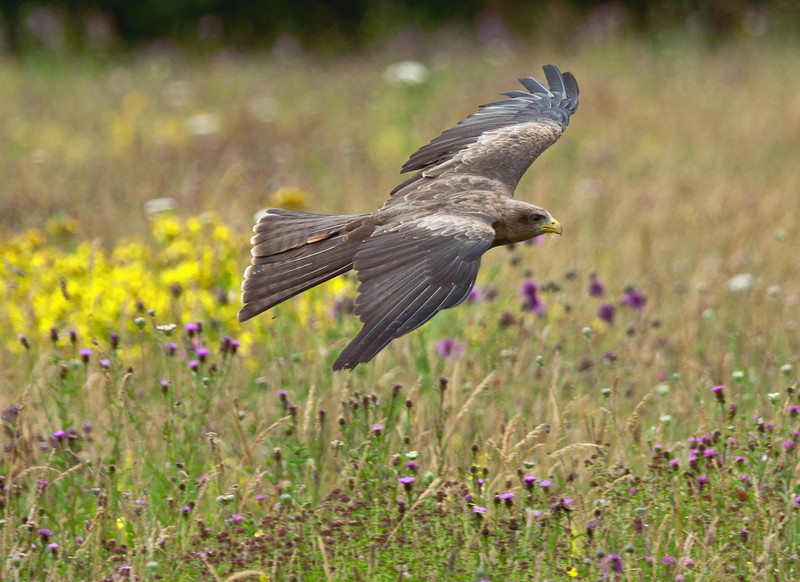 Black Kite in Wild Flower Meadow