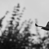 Black and white photo of a black kite in flight