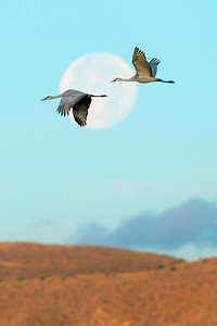 Sand-hill Cranes Full Moon