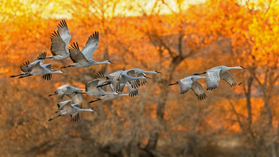 Sand-hill Cranes in Bosque
