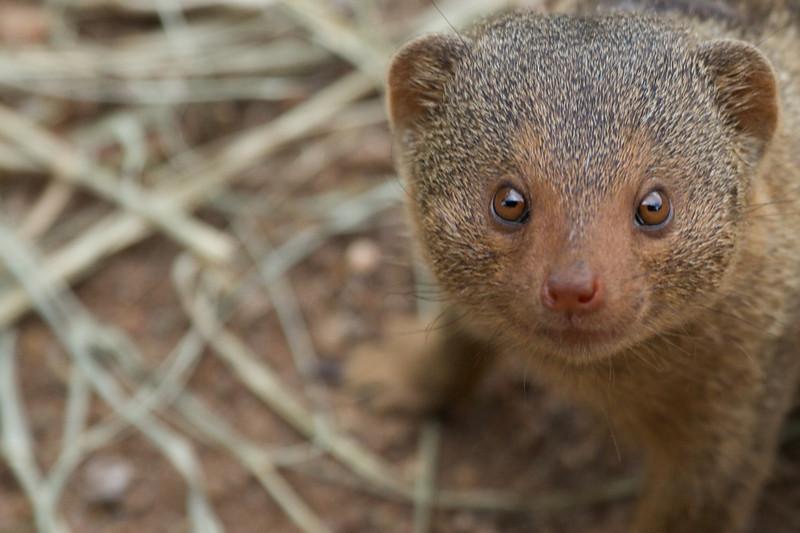 Mongoose pretending to be Rolo